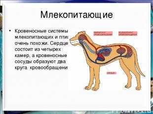 Млекопитающие Кровеносные системы млекопитающих и птиц очень похожи. Сердце сост
