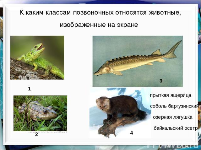 К каким классам позвоночных относятся животные, изображенные на экране озерная лягушка прыткая ящерица байкальский осетр 1 2 3 4 соболь баргузинский