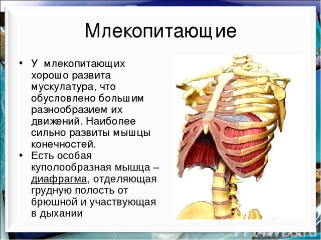 Млекопитающие У млекопитающих хорошо развита мускулатура, что обусловлено большим разнообразием их движений. Наиболее сильно развиты мышцы конечностей. Есть особая куполообразная мышца – диафрагма, отделяющая грудную полость от брюшной и участвующая…