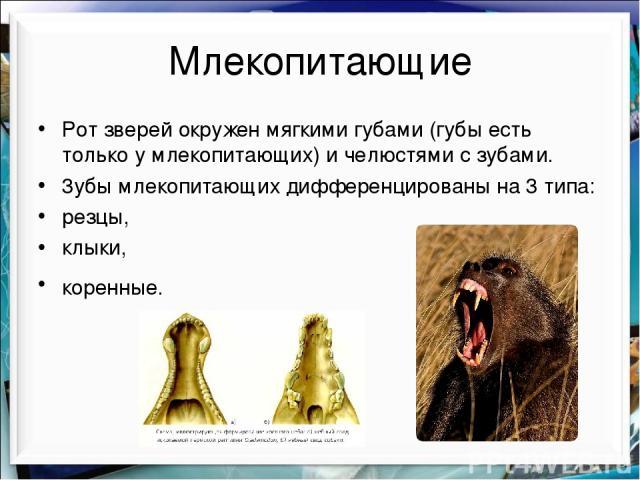 Млекопитающие Рот зверей окружен мягкими губами (губы есть только у млекопитающих) и челюстями с зубами. 3убы млекопитающих дифференцированы на 3 типа: резцы, клыки, коренные.