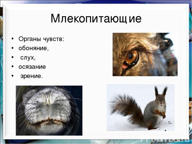Млекопитающие Органы чувств: обоняние, слух, осязание зрение.