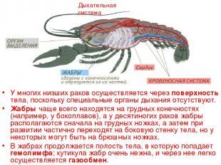 Дыхательная система У многих низших раков осуществляется через поверхность тела,