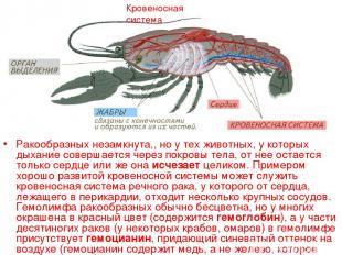 Ракообразных незамкнута,, но у тех животных, у которых дыхание совершается через