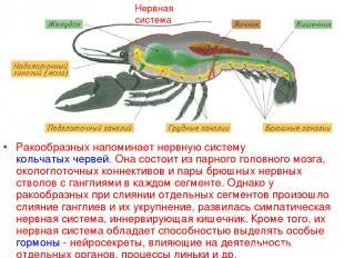 Нервная система Ракообразных напоминает нервную систему кольчатых червей. Она со