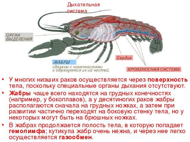 Дыхательная система У многих низших раков осуществляется через поверхность тела, поскольку специальные органы дыхания отсутствуют. Жабры чаще всего находятся на грудных конечностях (например, у бокоплавов), а у десятиногих раков жабры располагаются …