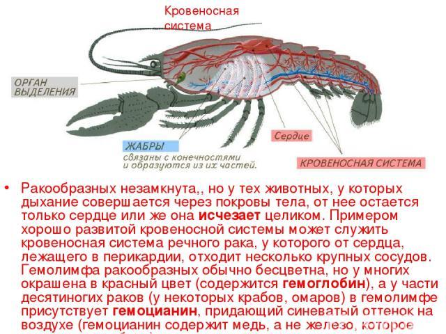 Ракообразных незамкнута,, но у тех животных, у которых дыхание совершается через покровы тела, от нее остается только сердце или же она исчезает целиком. Примером хорошо развитой кровеносной системы может служить кровеносная система речного рака, у …