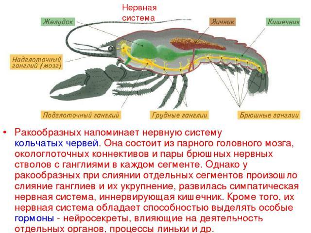 Нервная система Ракообразных напоминает нервную систему кольчатых червей. Она состоит из парного головного мозга, окологлоточных коннективов и пары брюшных нервных стволов с ганглиями в каждом сегменте. Однако у ракообразных при слиянии отдельных се…