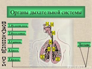 Органы дыхательной системы 1.Полость носа 2.Носоглотка 3.Гортань 5.Бронхи 4.Трах