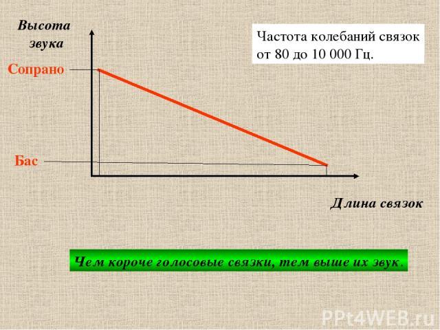 звукообразование Высота звука Длина связок Сопрано Бас Чем короче голосовые связки, тем выше их звук. Частота колебаний связок от 80 до 10 000 Гц.