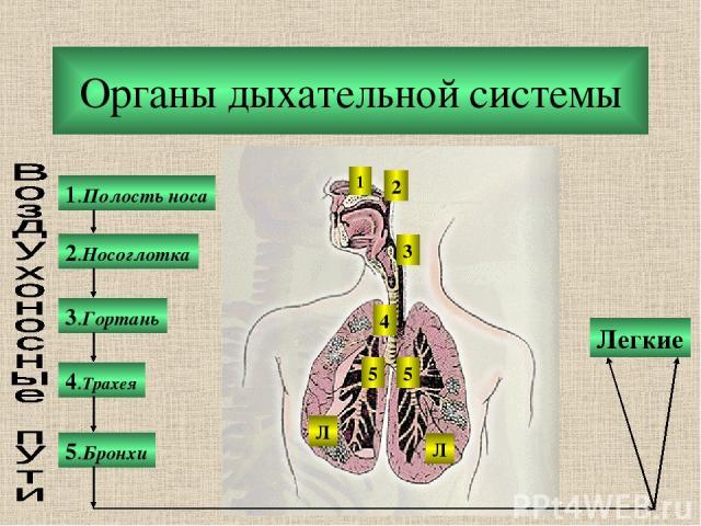 Органы дыхательной системы 1.Полость носа 2.Носоглотка 3.Гортань 5.Бронхи 4.Трахея Легкие 1 2 3 4 5 5 Л Л