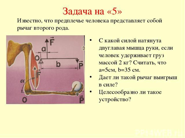 Задача на «5» С какой силой натянута двуглавая мышца руки, если человек удерживает груз массой 2 кг? Считать, что а=5см, b=35 см. Дает ли такой рычаг выигрыш в силе? Целесообразно ли такое устройство? Известно, что предплечье человека представляет с…