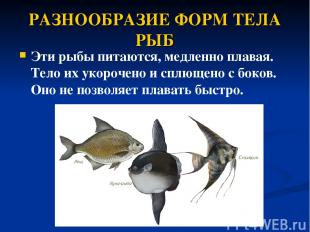 РАЗНООБРАЗИЕ ФОРМ ТЕЛА РЫБ Эти рыбы питаются, медленно плавая. Тело их укорочено