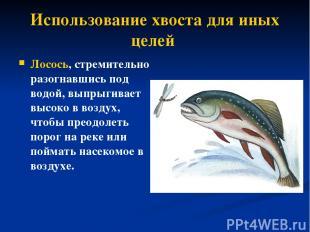 Использование хвоста для иных целей Лосось, стремительно разогнавшись под водой,