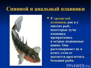 Спинной и анальный плавники У трехиглой колюшки, как и у многих рыб, некоторые л