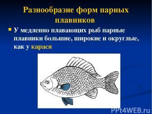 Разнообразие форм парных плавников У медленно плавающих рыб парные плавники боль