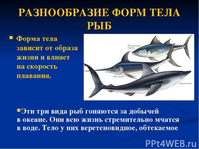 РАЗНООБРАЗИЕ ФОРМ ТЕЛА РЫБ Форма тела зависит отобраза жизни и влияет наскорость плавания. Эти три вида рыб гоняются задобычей вокеане. Они всю жизнь стремительно мчатся в воде. Тело у них веретеновидное, обтекаемое