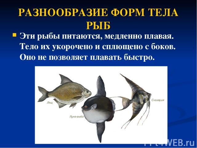 РАЗНООБРАЗИЕ ФОРМ ТЕЛА РЫБ Эти рыбы питаются, медленно плавая. Тело их укорочено исплющено сбоков. Оно не позволяет плавать быстро.