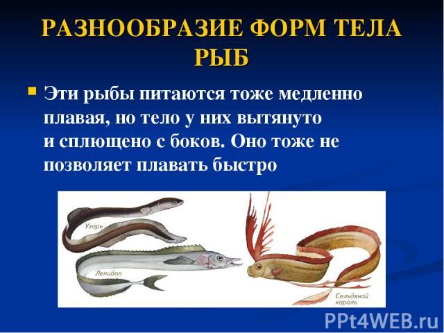 РАЗНООБРАЗИЕ ФОРМ ТЕЛА РЫБ Эти рыбы питаются тоже медленно плавая, но тело у них вытянуто исплющено с боков. Оно тоже не позволяет плавать быстро