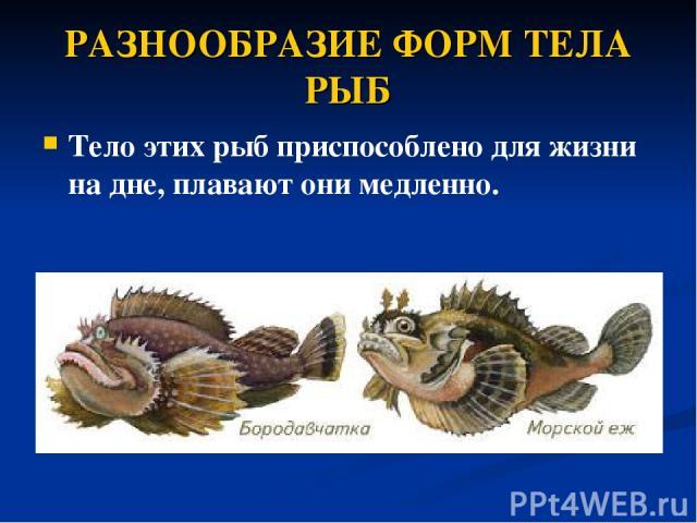 РАЗНООБРАЗИЕ ФОРМ ТЕЛА РЫБ Тело этих рыб приспособлено дляжизни на дне, плавают они медленно.