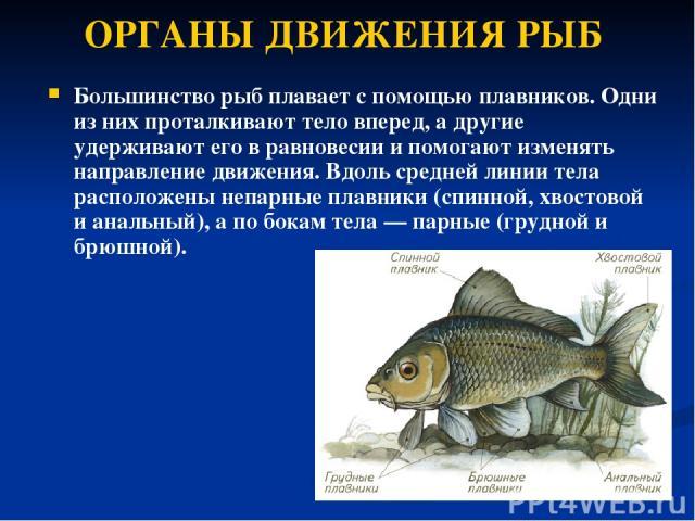 ОРГАНЫ ДВИЖЕНИЯ РЫБ Большинство рыб плавает с помощью плавников. Одни из них проталкивают тело вперед, а другие удерживают его в равновесии и помогают изменять направление движения. Вдоль средней линии тела расположены непарные плавники (спинной, хв…