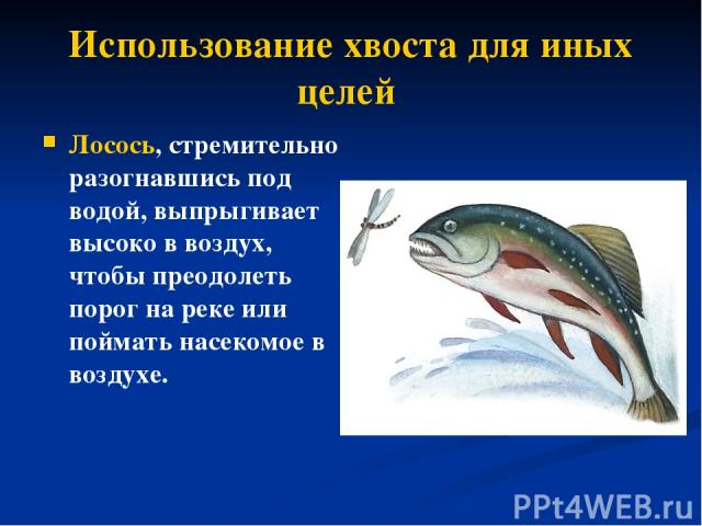 Использование хвоста для иных целей Лосось, стремительно разогнавшись под водой, выпрыгивает высоко в воздух, чтобы преодолеть порог на реке или поймать насекомое в воздухе.