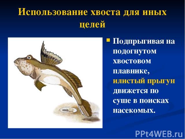 Использование хвоста для иных целей Подпрыгивая на подогнутом хвостовом плавнике, илистый прыгун движется по суше впоисках насекомых.