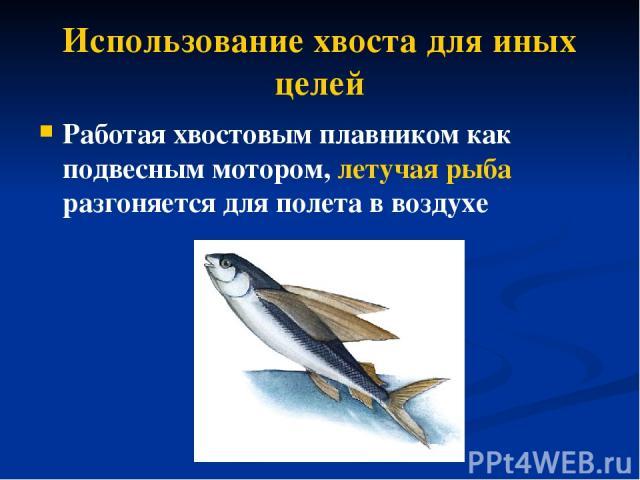Использование хвоста для иных целей Работая хвостовым плавником как подвесным мотором, летучая рыба разгоняется для полета в воздухе