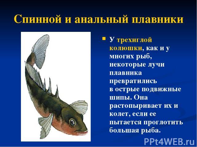 Спинной и анальный плавники У трехиглой колюшки, как и у многих рыб, некоторые лучи плавника превратились вострые подвижные шипы. Она растопыривает их и колет, если ее пытается проглотить большая рыба.