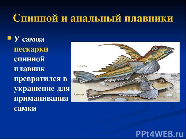 Спинной и анальный плавники У самца пескарки спинной плавник превратился в украшение для приманивания самки