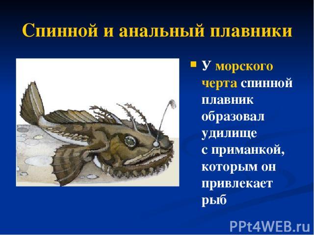 Спинной и анальный плавники У морского черта спинной плавник образовал удилище сприманкой, которым он привлекает рыб