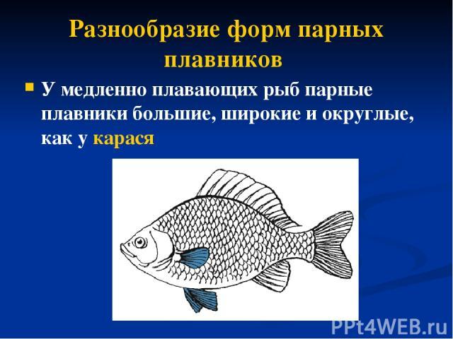 Разнообразие форм парных плавников У медленно плавающих рыб парные плавники большие, широкие иокруглые, как у карася