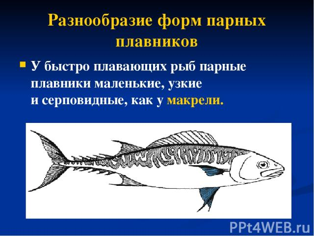 Разнообразие форм парных плавников У быстро плавающих рыб парные плавники маленькие, узкие исерповидные, как у макрели.