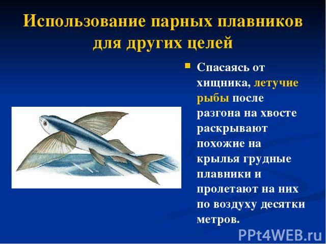 Использование парных плавников для других целей Спасаясь от хищника, летучие рыбы после разгона на хвосте раскрывают похожие на крылья грудные плавники и пролетают наних по воздуху десятки метров.