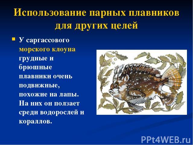Использование парных плавников для других целей У саргассового морского клоуна грудные и брюшные плавники очень подвижные, похожие на лапы. На них он ползает среди водорослей и кораллов.