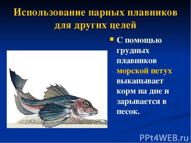 Использование парных плавников для других целей С помощью грудных плавников морской петух выкапывает корм на дне и зарывается в песок.