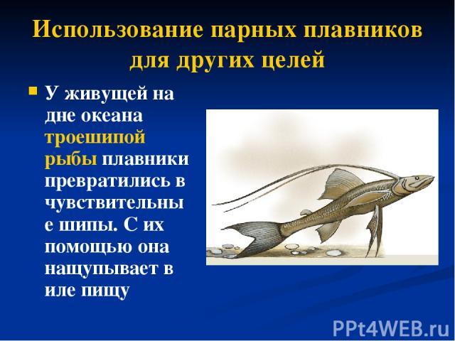 Использование парных плавников для других целей У живущей на дне океана троешипой рыбы плавники превратились в чувствительные шипы. С их помощью она нащупывает в иле пищу