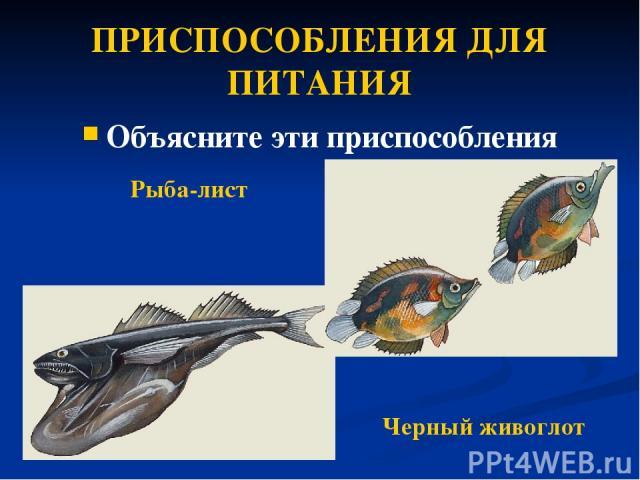 ПРИСПОСОБЛЕНИЯ ДЛЯ ПИТАНИЯ Объясните эти приспособления Рыба-лист Черный живоглот