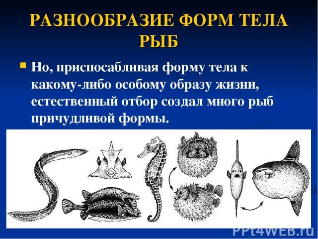 РАЗНООБРАЗИЕ ФОРМ ТЕЛА РЫБ Но, приспосабливая форму тела к какому-либо особому образу жизни, естественный отбор создал много рыб причудливой формы.