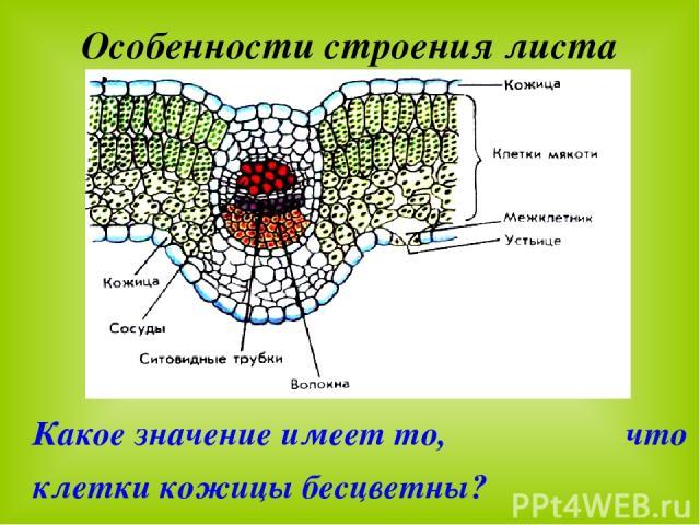 Особенности строения листа Какое значение имеет то, что клетки кожицы бесцветны?