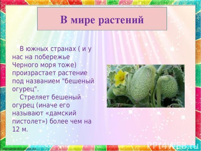 В мире растений В южных странах ( и у нас на побережье Черного моря тоже) произрастает растение под названием