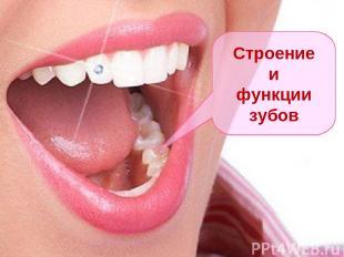 Строение и функции зубов