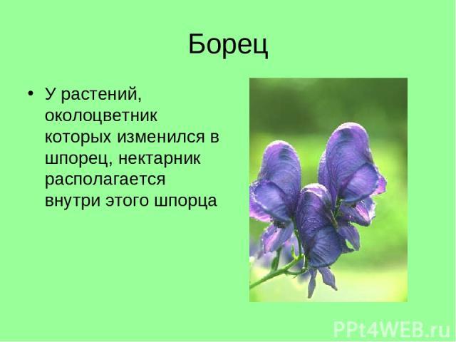 Борец У растений, околоцветник которых изменился в шпорец, нектарник располагается внутри этого шпорца