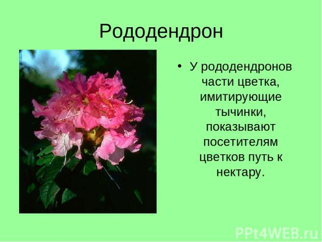 Рододендрон У рододендронов части цветка, имитирующие тычинки, показывают посетителям цветков путь к нектару.
