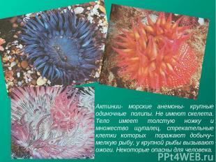 Актинии- морские анемоны- крупные одиночные полипы. Не имеют скелета. Тело имеет