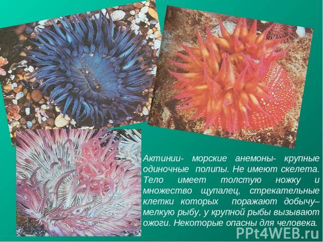 Актинии- морские анемоны- крупные одиночные полипы. Не имеют скелета. Тело имеет толстую ножку и множество щупалец, стрекательные клетки которых поражают добычу– мелкую рыбу, у крупной рыбы вызывают ожоги. Некоторые опасны для человека.
