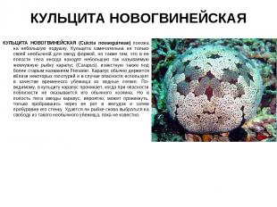 КУЛЬЦИТА НОВОГВИНЕЙСКАЯ КУЛЬЦИТА НОВОГВИНЕЙСКАЯ (Culcita novaeguineae) похожа на
