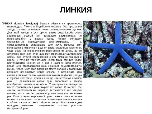 ЛИНКИЯ ЛИНКИЯ (Linckia laevigata) Весьма обычна на тропических мелководьях Тихого и Индийского океанов. Это ярко-синяя звезда с пятью длинными, почти цилиндрическими лучами. Для этой звезды и для других видов рода Linckia очень характерен особый тип…
