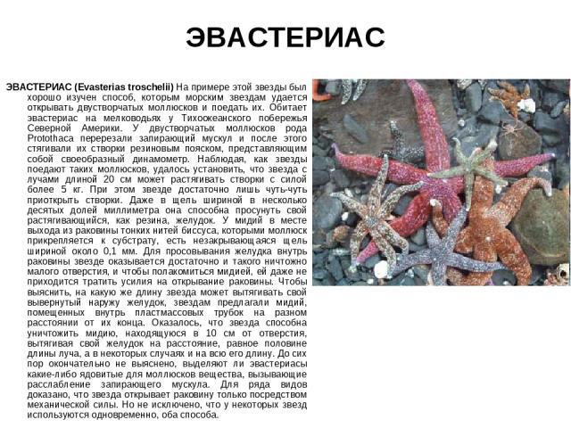 ЭВАСТЕРИАС ЭВАСТЕРИАС (Evasterias troschelii) На примере этой звезды был хорошо изучен способ, которым морским звездам удается открывать двустворчатых моллюсков и поедать их. Обитает эвастериас на мелководьях у Тихоокеанского побережья Северной Амер…