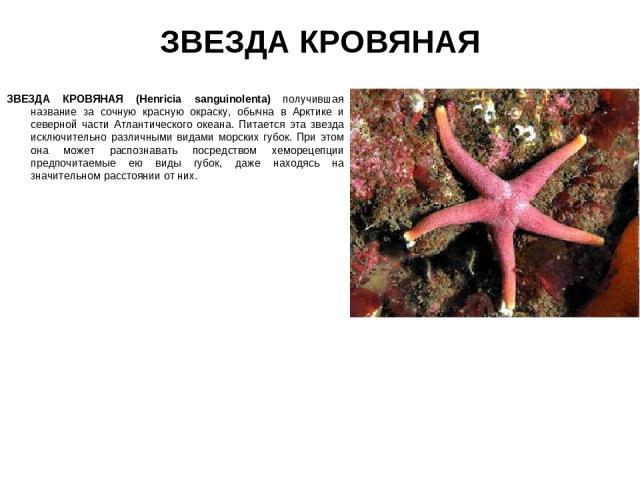 ЗВЕЗДА КРОВЯНАЯ ЗВЕЗДА КРОВЯНАЯ (Henricia sanguinolenta) получившая название за сочную красную окраску, обычна в Арктике и северной части Атлантического океана. Питается эта звезда исключительно различными видами морских губок. При этом она может ра…
