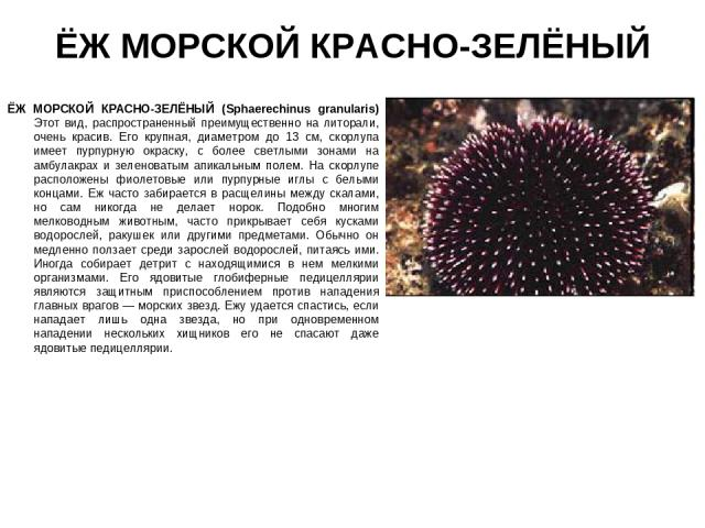 ЁЖ МОРСКОЙ КРАСНО-ЗЕЛЁНЫЙ ЁЖ МОРСКОЙ КРАСНО-ЗЕЛЁНЫЙ (Sphaerechinus granularis) Этот вид, распространенный преимущественно на литорали, очень красив. Его крупная, диаметром до 13 см, скорлупа имеет пурпурную окраску, с более светлыми зонами на амбула…